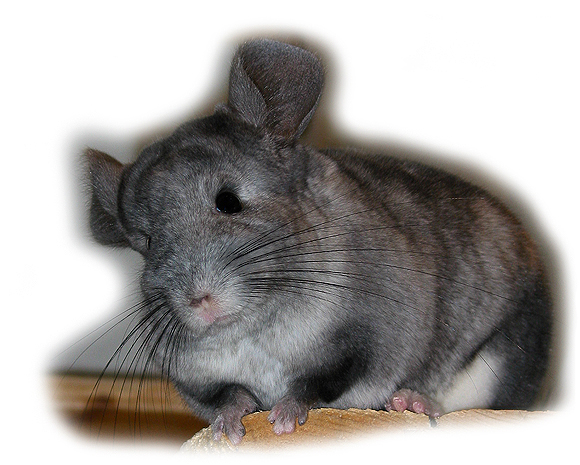 Das Chinchilla - Chinchilla Chinchilla lanigera